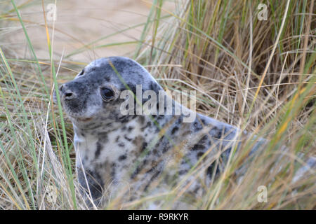 Horsey Beach, Norfolk, UK. 26th Dec, 2018. A young grey seal pup on Horsey Beach, Norfolk, UK on Boxing Day 2018. Every winter a colony of grey seals comes ashore to give birth at Horsey on the Norfolk Coast. When this photographs was taken there were more than 1,000 seals ashore. Credit: Steve Nichols/Alamy Live News - Stock Photo