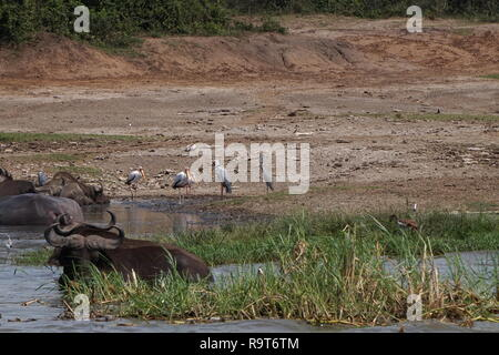 Waterbuffalo and yellow-billed storks bathing in the Kazinga Channel in Queen Elizabeth National Park, Uganda - Stock Photo