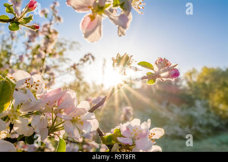 Spring blossoms in the sun. Tree branch with apple flowers, blur background. - Stock Photo