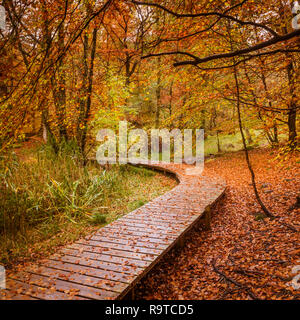 A rain soaked autumnal day with ground heavily covered in the last of the golden leaves your eye following the curved boardwalk paths though the woods - Stock Photo