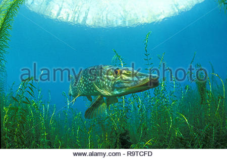 Northern pike (Esox lucius), at waterweed (Elodea), Baden-Württemberg, Germany - Stock Photo