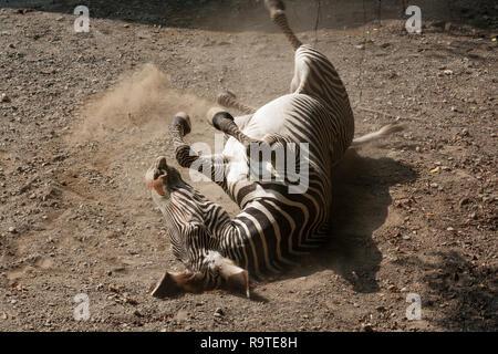 Grevy's zebra (Equus grevyi), aka imperial zebra, rubs back by rolling in the dirt, Taipei Zoo a.k.a. Muzha Zoo, Taipei City, Taiwan - Stock Photo