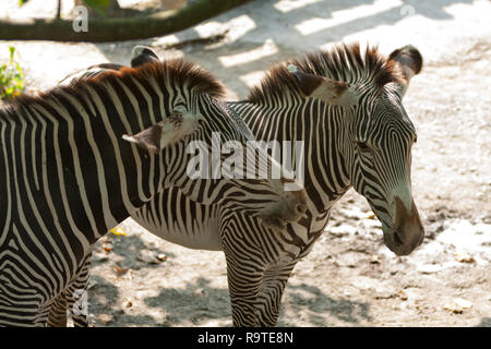 Grevy's zebra (Equus grevyi), aka imperial zebra, adult and young zebra, Taipei Zoo a.k.a. Muzha Zoo, Taipei City, Taiwan - Stock Photo