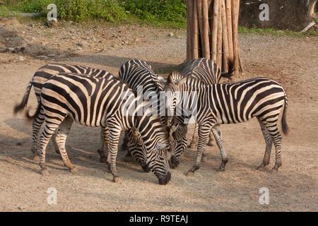 Grevy's zebra (Equus grevyi), aka imperial zebra, herd of zebras feeding on grasses, Taipei Zoo a.k.a. Muzha Zoo, Taipei City, Taiwan - Stock Photo