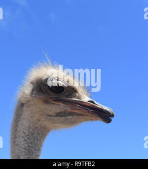 Beautiful Side View of Ostrich - Stock Photo