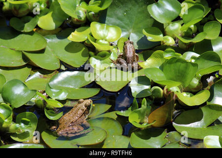 Two American Bullfrogs, Lithobates catesbeianus, sitting on lily pads in a backyard pond in Wisconsin, USA - Stock Photo
