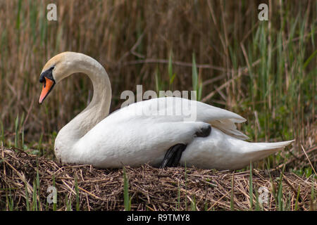 Mute swan sitting on its nest - Stock Photo