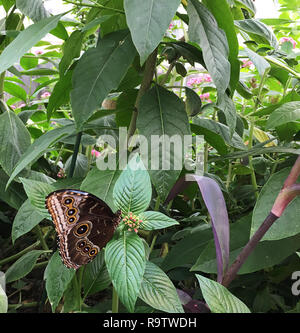 Peleides blue morpho butterfly sitting on a leaf in the garden on a sunny day. - Stock Photo