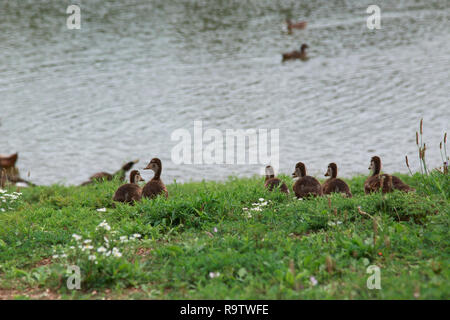 Small cute ducklings sitting together by the water on a sunny day. - Stock Photo