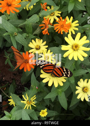 Tiger-striped long wing butterfly nectaring flowers in the garden on a sunny day. - Stock Photo