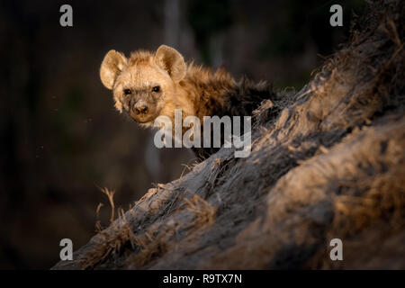 Lonely hyena sitting outside in the sun close to its den. - Stock Photo
