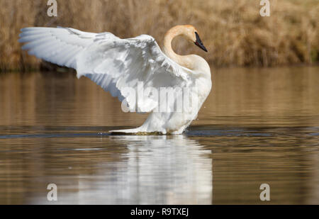 Big, beautiful Trumpeter swan flaps wings on a pond in Alberta, Canada - Stock Photo