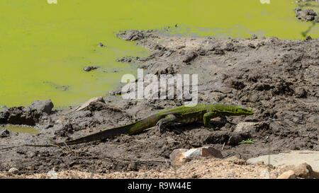 Whole body of a big water monitor lizard walking out of water in South Africa - Stock Photo