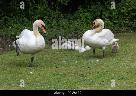 Family of mute swans, with young cygnets - Stock Photo