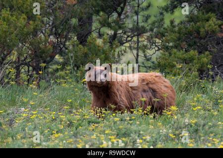 American black bear (Ursus americanus)  Glacier National Park, Montana - Stock Photo