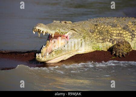 Nile crocodiles at Lake Chamo, Ethiopia - Stock Photo