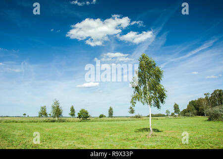 Young birch in the meadow, forest on horizon and white clouds on blue sky - Stock Photo