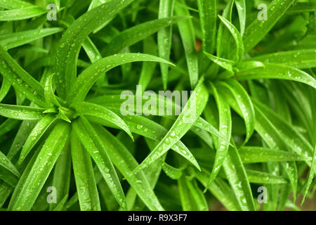 Beautiful Easter lily green leaf with morning dew drop - Stock Photo