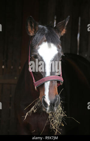 Horse head close up on blurred black  natural background at rural animal farm in stable - Stock Photo