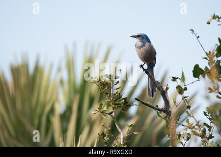 A Florida Scrub Jay, considered vulnerable to extinction due to habitat loss, perches along the side of a busy road on Merritt Island in Florida. - Stock Photo