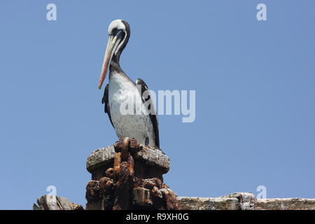 Peruvian pelican, Pelecanus thagus - Stock Photo