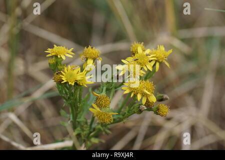 Common Ragwort (Senecio jacobae) - Stock Photo