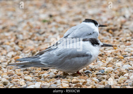 Two common terns (Sterna hirundo) in non-breeding plumage on shingle beach in late summer - Stock Photo