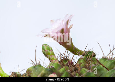 pink cactus flower on white ,Beside of pink cactus flower are blooming on the green stalk, Stuck on a cactus. - Stock Photo