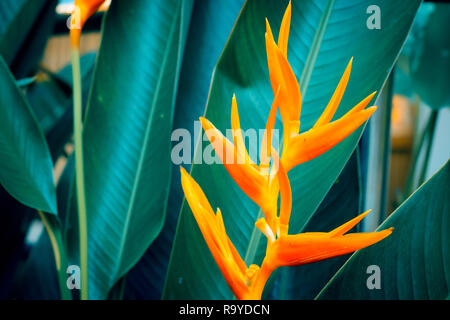 Heliconia psittacorum or Golden Torch flowers with green leaves. Colorful flower on dark tropical foliage nature background. - Stock Photo