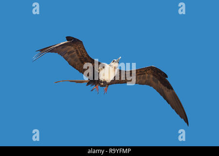 Young adult female Fregata magnificens magnificent frigatebird flying on blue sky background - Stock Photo