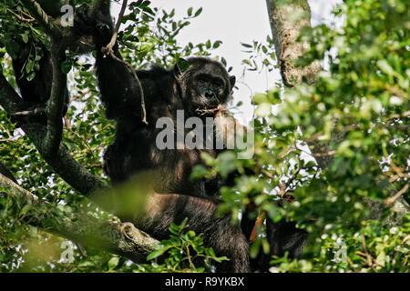 Eastern Chimpanzee (Pan troglodytes schweinfurthii) feeding on killed Colobus Monkey, Gombe Stream National Park, Tanzania - Stock Photo