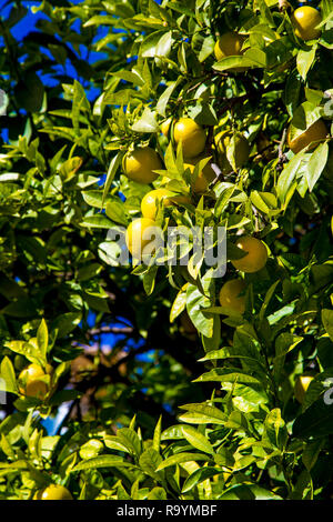 Oranges growing on a tree in the city of Valencia, Spain - Stock Photo
