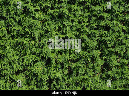 Trimmed hedge of thuja occidentalis - Stock Photo