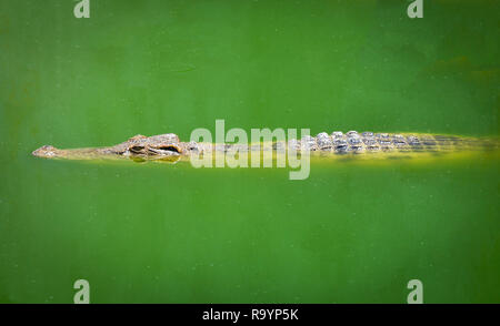 Crocodile floating in water river and waiting for the prey / Large freshwater crocodile in farm - Stock Photo
