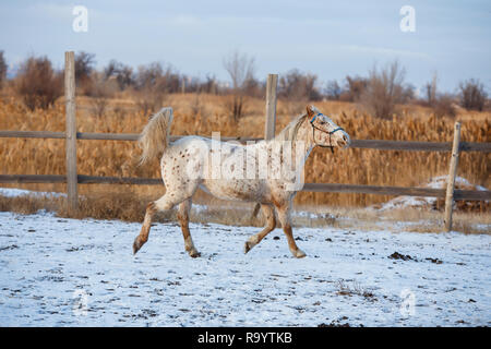 Young horse running on the snow - Stock Photo