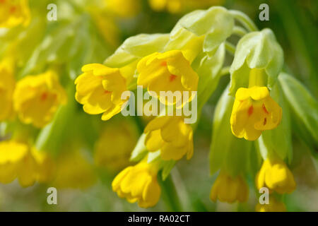 Cowslip (primula veris), close up of one flowering plant out of several. - Stock Photo
