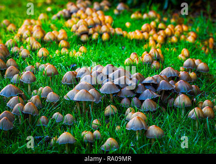 Glistening inky cap Coprinellus micaceusFly - Stock Photo