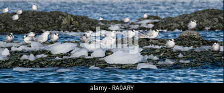 Antarctica, Antarctic peninsula, Gerlach Straight, Wilhelmina Bay in the Enterprise Island area. Antarctic terns (Sterna vittata) on rocky outcrop. - Stock Photo