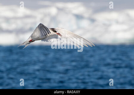 Antarctica, Antarctic peninsula, Gerlach Straight, Wilhelmina Bay in the Enterprise Island area. Antarctic tern (Sterna vittata) in flight. - Stock Photo