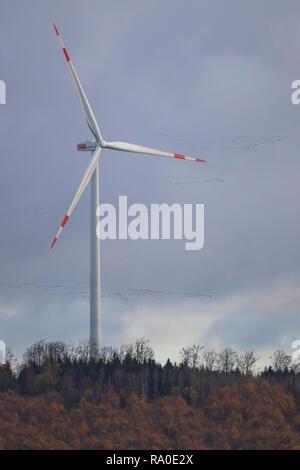 Common crane (Grus grus) big flock flying over wind turbine, Hesse, Germany