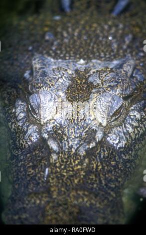 HEAD OF A SALTWATER CROCODILE (CROCDYLUS POROSUS) AUSTRALIA - Stock Photo