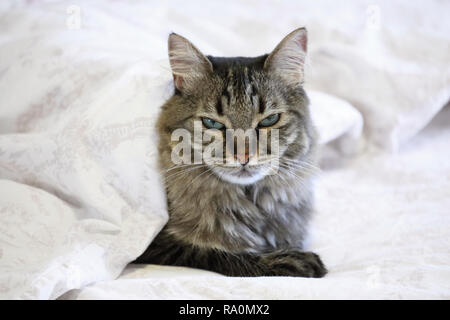 Cute black and grey cat lying on bed under a white quilt with sleepy face - Stock Photo