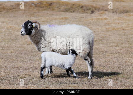 A mother sheep with it's lamb suckling from her teat