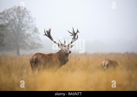 Red deer in Richmond Park during the rutting season. - Stock Photo