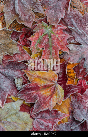 Frosted Maple leaves, forest floor, Autumn, E USA, by Skip Moody/Dembinsky Photo Assoc - Stock Photo