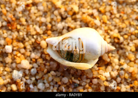 Beetle hermit crab in the shell on the sand - Stock Photo