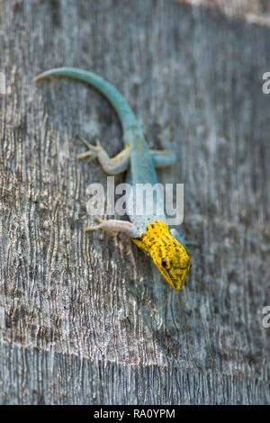 Dwarf yellow-headed gecko ( Lygodactylus luteopicturatus ) resting on the trunk of a palm tree, Kenya, East Africa - Stock Photo