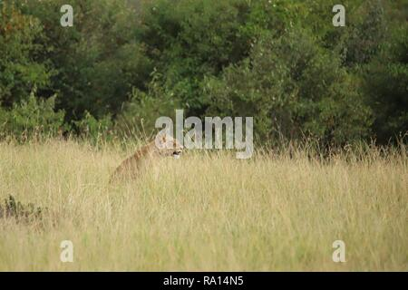 A lion sits in the high grass - Stock Photo