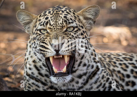 Stunning looking male leopard snarling at nearby safari vehicle. - Stock Photo