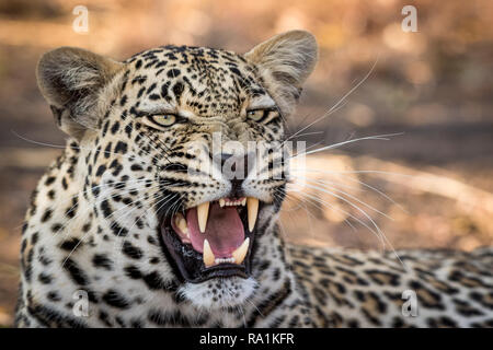 Stunning looking male leopard yawning with big mouth open. - Stock Photo